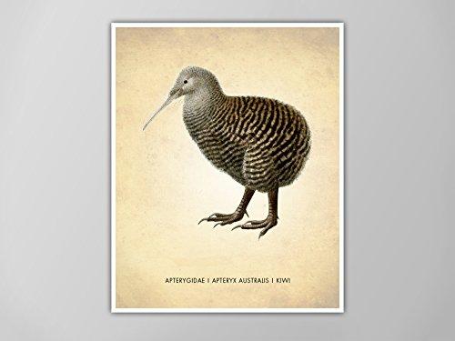 Kiwi Bird Art Print, Kiwi Bird Natural History Poster, Natural History Scientific Print, Kiwi Bird Poster, Kiwi Bird Illustration, Kiwi Bird