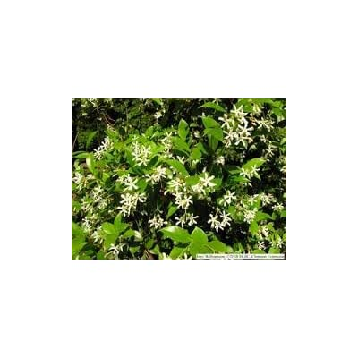 3 Gallon Confederate Jasmine, Produces Clusters of Small, White Flowers That Look Like Tiny pinwheels. Flowers are Extremely Fragrant and can Easily Perfume an Entire Yard - Gallon : Garden & Outdoor