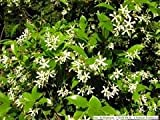 3 gallon CONFEDERATE JASMINE, produces clusters of small, white flowers that look like tiny pinwheels. Flowers are extremely fragrant and can easily perfume an entire yard - gallon