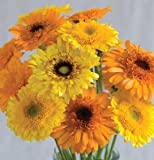 Herb Calendula Princess Mix D1904A (Yellow) 100 Organic Seeds by David's Garden Seeds Orange