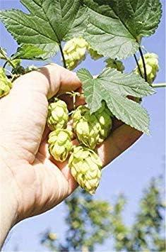 Potseed 100 Pcs: Semilla El Dorado Hop * * Las Semillas a Granel 100 Tropical/Sabor afrutado * Cash Crop * Cerveza