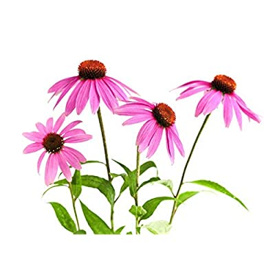 100 Echinacea Purpurea Seeds - Purple Coneflower : Garden & Outdoor