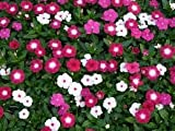 Vinca Pacifica XP Bold Mix 500 Seeds