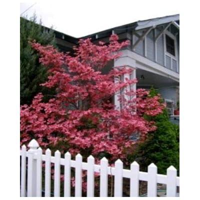 Red Dogwood Tree (Cornus Florida) Seeds by Robsrareandgiantseeds UPC0764425788409 Non-GMO, Organic, USA Grower, Bonsai, Rapid-Growing Tree, Four-Season Appeal, 1193-B Package of 10 Seeds : Garden & Outdoor