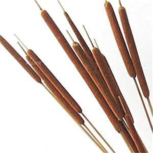 "Dried Natural Cattails Jumbo 20-24"" 3"