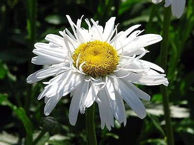 Leucanthemum CRAZY DAISY DOUBLE SHASTA DAISY Seeds!