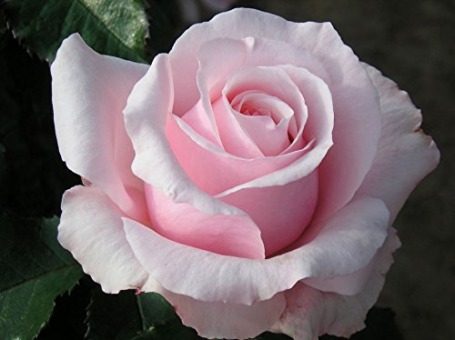 BRIDE AND GROOM - 4lt Potted Hybrid Tea Garden Rose Bush - Fragrant, Beautifully Shaped Large Baby Pink Blooms - Great Wedding Gift