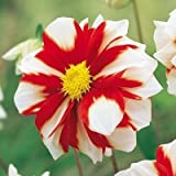 1 Dahlia Fire and Ice White and Red Color Flower Bulb Perennials Summer