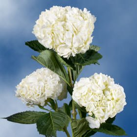 GlobalRose 10 Fresh Cut White Hydrangeas - Fresh Flowers For Weddings or Anniversary. by GlobalRose (Image #5)