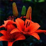 Go Garden Rare Lily Potted Not Lily Bulbs It is Bonsai Lilum Flower Outdoor Perennial Pleasant Fragrance Plant for Home & Garden 300 Pcs: 2