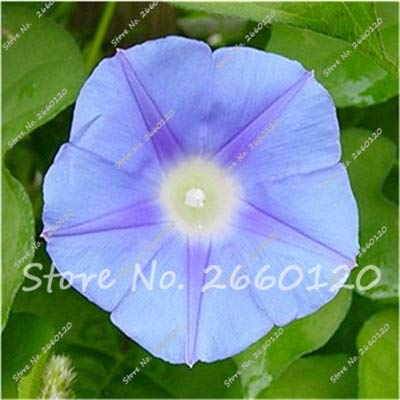Amazon com: Kasuki 100 Pcs Morning Glory Bonsai Rare