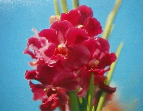 3 HAWAIIAN STRAP LEAF VANDA ORCHID PLANTS ~GROW HAWAII