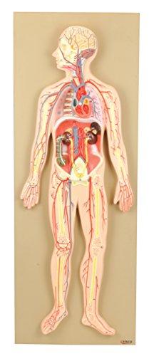 Eisco Labs Premium Anatomical Model Human Circulatory System, Half Life Size (30