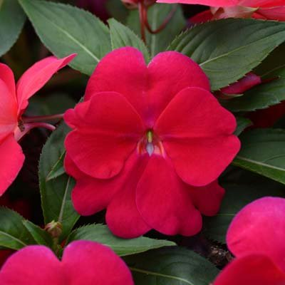 "(AIMNG)~""DIVINE LIPSTICK"" NEW GUINEA IMPATIENS-Seeds!~~~~~~Deep Rose-Red!"