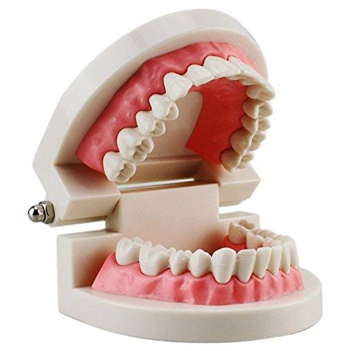Yueyuezou 174 Child Kid Teeth Model Dental Dentist Typodont