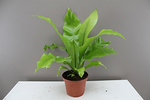 Asplenium Nidus - Bird's Nest Fern - Crow's Nest Fern - Indoor Fern - Evergreen tropical plant, ideal for homes and offices - Apple Green leaves with brown central rib marking (1) Best4Garden