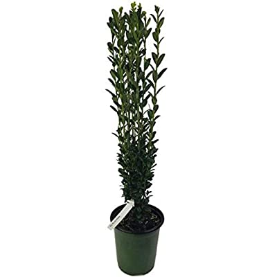 "New Life Nursery & Garden ' 'Sky Pencil Japanese Holly Tree"", Quart Pot: Garden & Outdoor"
