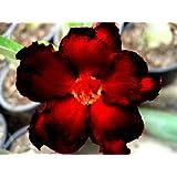 Grow Your Secret Garden Adenium Obesum 'Blacksplash Desert Rose