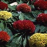 Outsidepride Cockscomb Mix - 500 Seeds