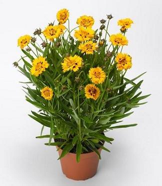 hazzards-seeds-coreopsis-grandiflora-andiamo-1000-seeds