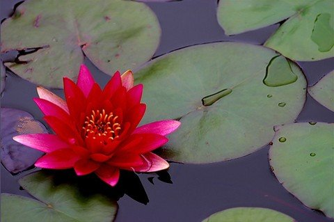 Water Lily 20 Seeds – Nymphaea – Mixed Colors