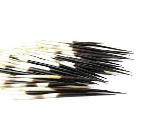 African Porcupine Quills 3-5'' | 10 pieces (Natural Bone) - Jewelry - Crafting - Art by Nautical Beach Decor