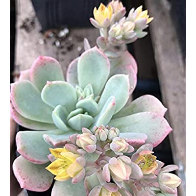 "Echeveria Prolifica with Yellow Flower Pink Edge Succulent in 2"" Pot Live Rooted tkena : Garden & Outdoor"