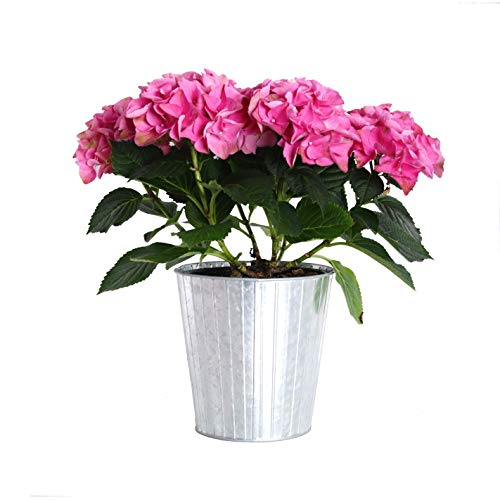 Hydrangea Potted Plant - Plants by Post Gallon Live Pink Hydrangea in Metallic Tin Pot