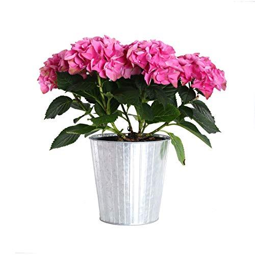 (Plants by Post Gallon Live Pink Hydrangea in Metallic Tin Pot)