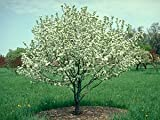 Callaway Fruiting Crabapple Tree- 2 Year Old 4-5 Ft