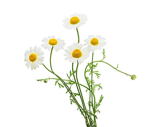 Marde Ross & Company Organic Chamomile Plant Seeds - Popular Herb for Tea