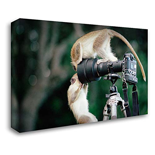 Black Faced Vervet Monkey - Black-Faced Vervet Monkeys Playing on Camera and Tripod, Barbados 34x24 Gallery Wrapped Stretched Canvas Art by Ellis, Gerry