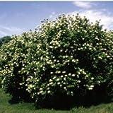 Nannyberry Viburnum> Viburnum lentago> Landscape Ready 5 gallon Container