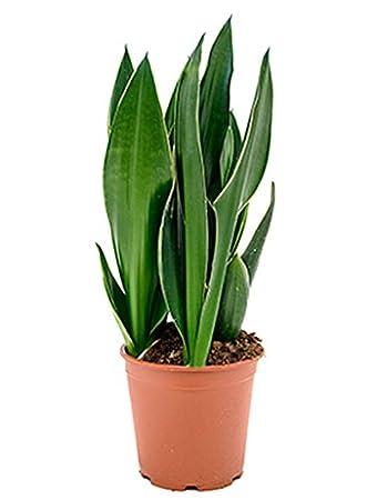 Zimmerpflanze Wenig Licht bogenhanf 40 55 cm im 21 cm topf robuste zimmerpflanze