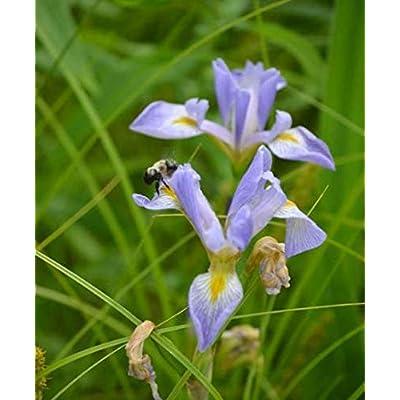 1 oz Seeds (Approx 1000 Seeds) of Iris virginica VAR. shrevei, Southern Blue Flag : Garden & Outdoor