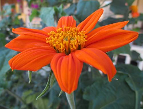 (Mexican Sunflower Seeds - Torch Red Orange Meadow Garden Flowers Non-GMO)