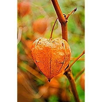 50 PERUVIAN GROUND CHERRY Physalis Peruviana Cape Gooseberry Fruit Veggie  Seeds