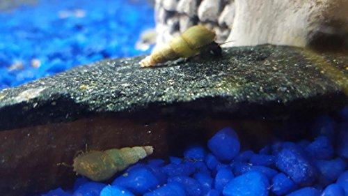20 Live Malaysian Trumpet Freshwater Aquarium Snails Shellfish Algae Cleaners (Best Snails For Freshwater Aquarium)