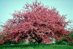 Profusion Red Flowering Crabapple Tree - 2 Year Old 4-5 Feet - Trees Crabapple