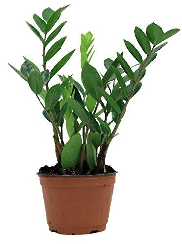 Delray Plants ZZ Plant in Pot
