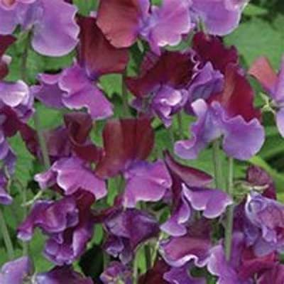 Sweet Pea Purple 50 Seeds, 1 Oz, 4 Oz, 1/2 Pound, 1 Pound Or 2 Pounds of Seeds - 1/2 Pound Seeds : Garden & Outdoor