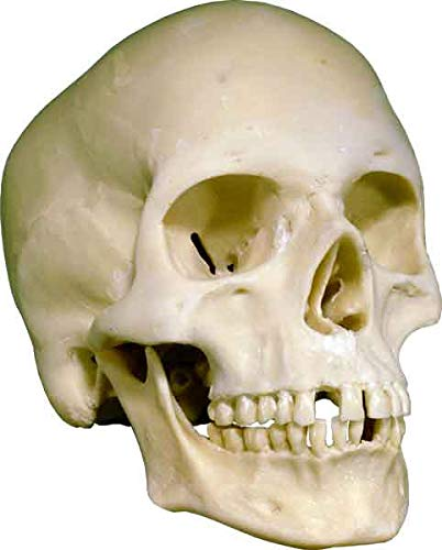 Human Skull Replica Life-Size - Low Cost Economy-Factory 2nd Tier- Good Quality, Model 3093001-2nds, by Nose Desserts