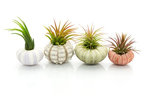Urchin Air Plant Assortment | 4 Varieties of Sea Urchins with Tillandsia Gift Set | Nautical Crush Trading