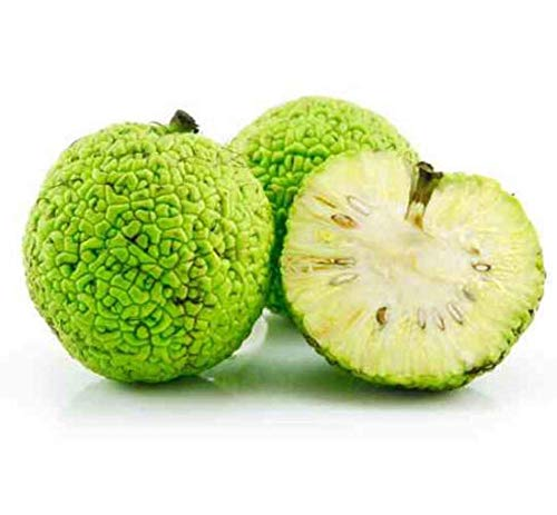 Ohio Organic Botanicals Hedge Apples, (Quantities Available 5 10 12 20 25) Osage Oranges, 100% Organic Insect and Spider Repellent Maclura Pomifera Fruit/Seeds by Ohio Organic Botanicals - Hedge Apples