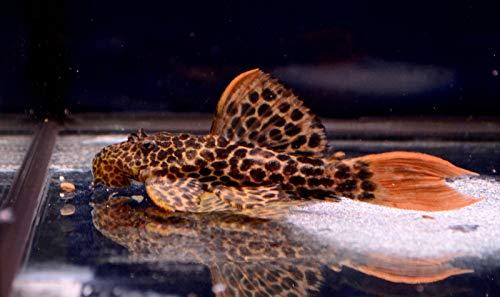 Buy plecostomus live fish
