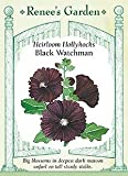 Hollyhock, Black Watchman