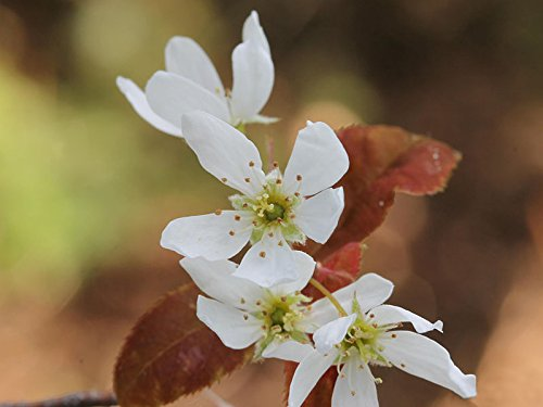 56 Seeds Alleghany Serviceberry Tree Seeds For Planting