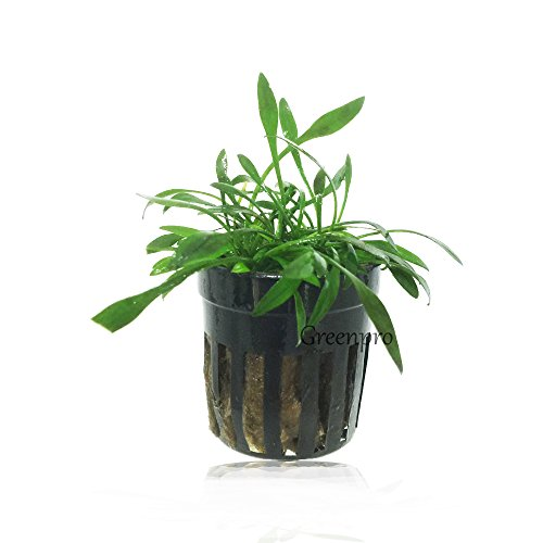 GreenPro Cryptocoryne Parva Foreground Live Potted Aquatic Aquarium Plants for...