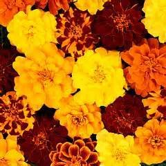Yellow, Orange, and Red Dwarf Marigold Mix- 50+ Seeds