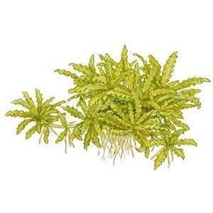 Tropica Pogostemon helferi In Vitro Tissue Culture 1-2-Grow! by Tropica